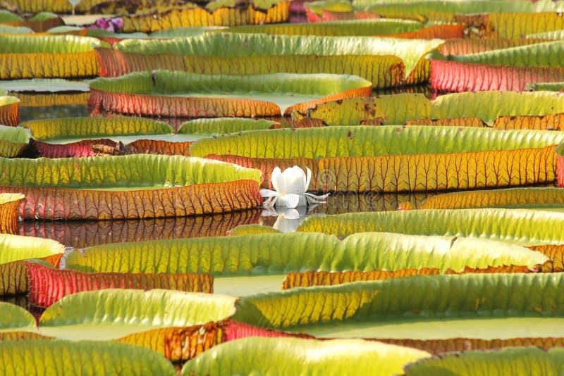 Sich hin- und herbewegender Lotos, riesige Seerose oder Victoria-Seerose lizenzfreie stockfotografie