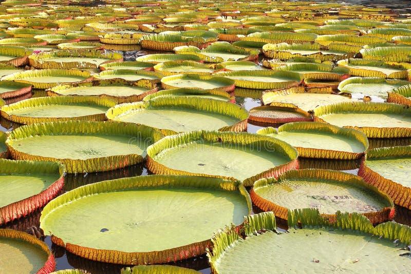 Sich hin- und herbewegender Lotos, riesige Seerose oder Victoria-Seerose stockbilder