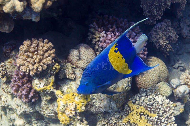 Sichel-Kaiserfisch - Angelfsh in Rode Overzees, Egyp royalty-vrije stock foto