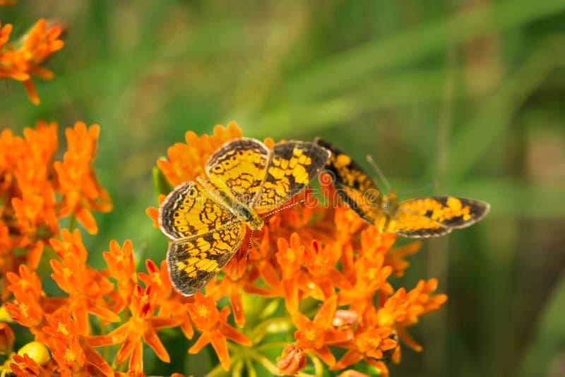 Sichelförmige Schmetterlinge der Perle auf Milkweedanlage lizenzfreies stockfoto