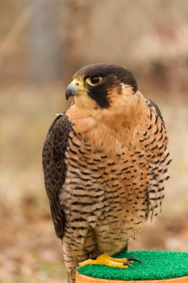 Sichernde Barbary-Falke Falco-pelegrinoides, Falknerei stockbild