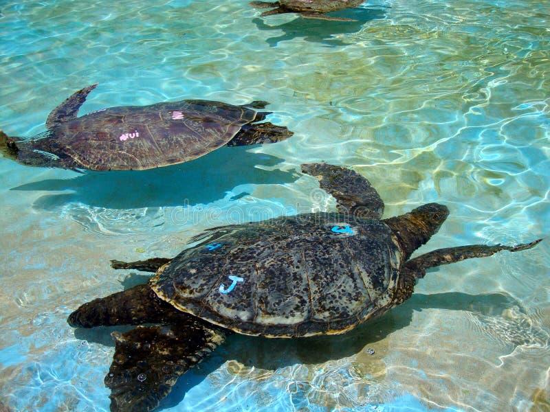Sichernde hawaiische Meeresschildkröten schwimmen unter dem seichten Wasser stockbild
