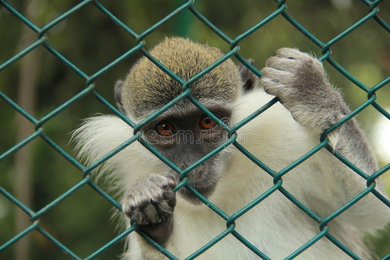 Sichernder Affe stockbild