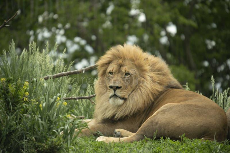 Sichernder afrikanischer Löwe Panthera Löwe stockfotos