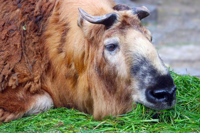 Old sichuan takin lying on the floor and feeding eating grass royalty free stock photo