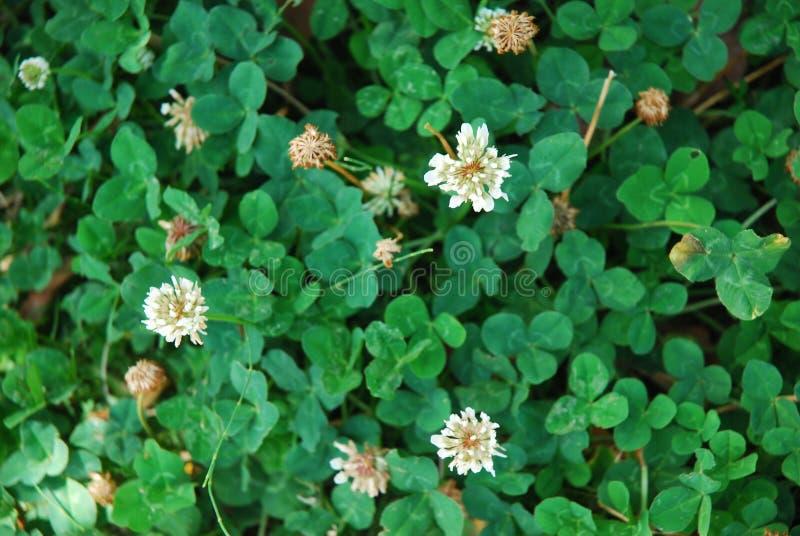 Sichuan Xichang växt av släktet Trifolium arkivfoton