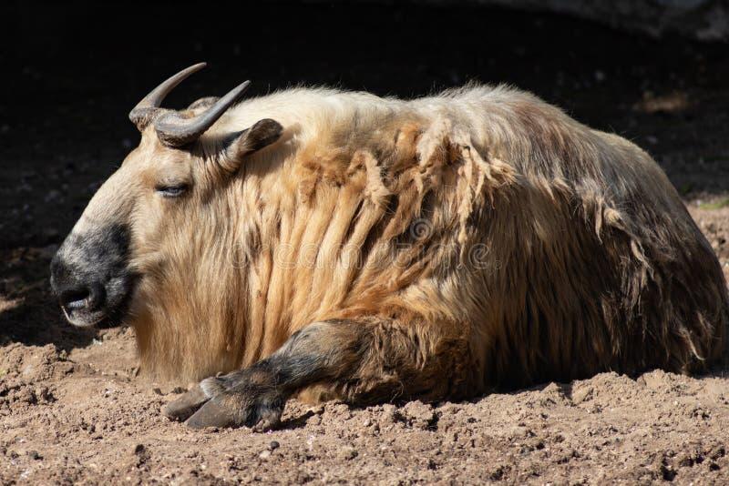 Sichuantakin или тибетский такин коз-антилопа Подвид такина, живя в лесах в Гималаях Такин национальн стоковые фотографии rf