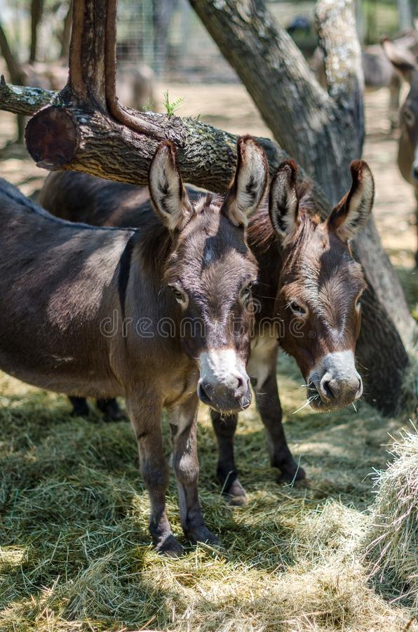 Sicilian Donkeys in Barnyard. Eating from some bales of hay under a mesquite tree. These donkeys have the shadow of the cross on their backs because they are royalty free stock images