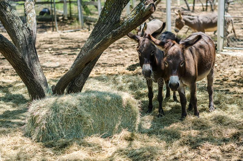 Sicilian Donkeys in Barnyard. Eating from some bales of hay under a mesquite tree. These donkeys have the shadow of the cross on their backs because they are stock photo