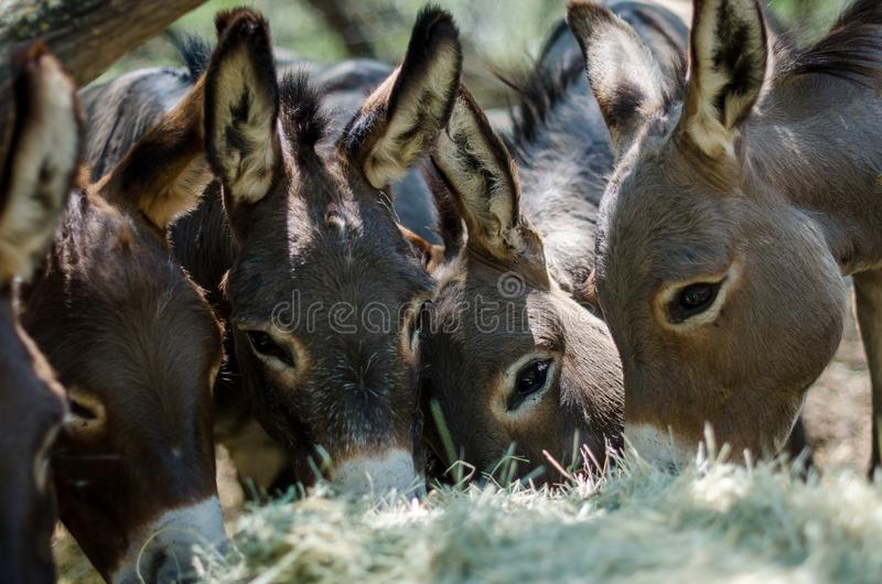 Sicilian Donkeys in Barnyard. Eating from some bales of hay under a mesquite tree. These donkeys have the shadow of the cross on their backs because they are stock photography
