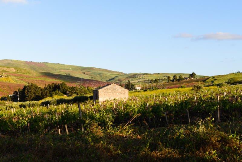 Sicilian vingård royaltyfri foto