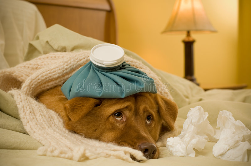 Sick as a dog stock photo
