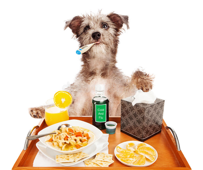 Sick as a Dog. Cute dog sick in bed with the flu with a thermometer in his mouth, a tray of chicken noodle soup, orange slices and juice, cold medicine and royalty free stock photos