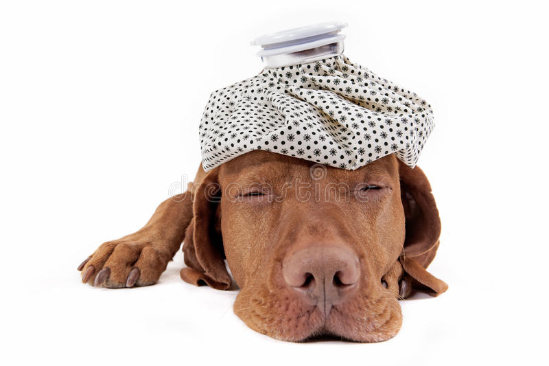 Sick as a dog. Laying golden purebreed dog with ice bag on its head on white background royalty free stock image
