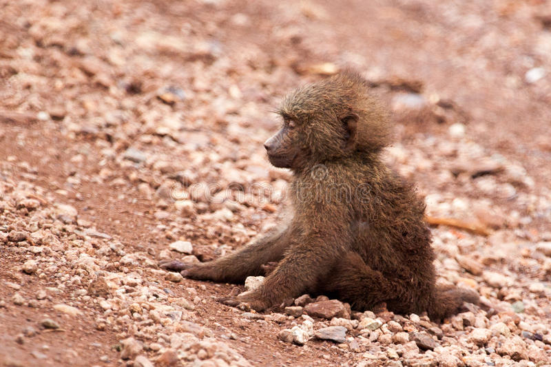 Sick baby baboon dying on the ground stock image