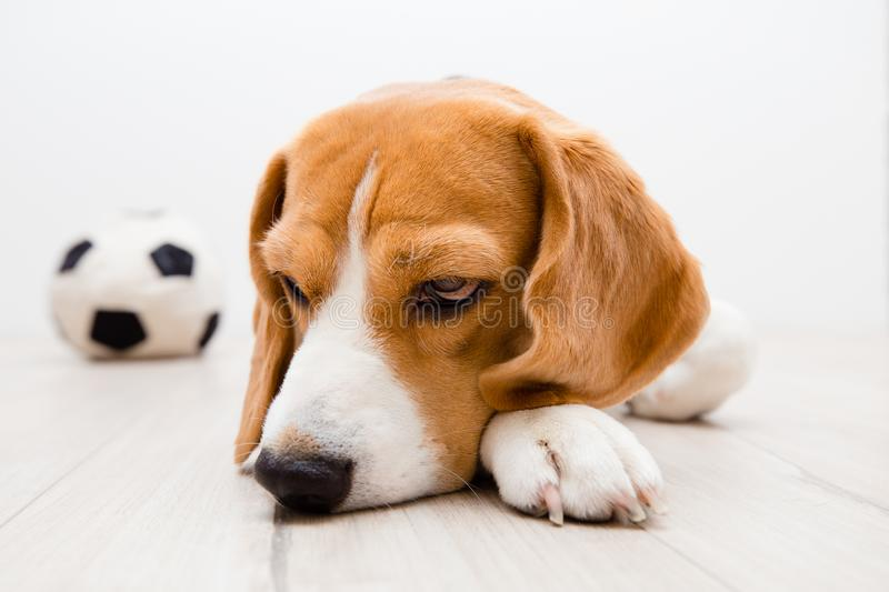 Sick beagle dog stock images
