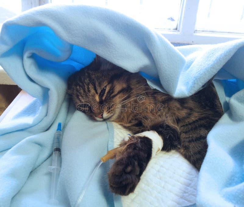 Sick cat royalty free stock image