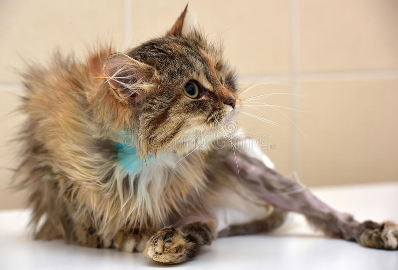 Sick cat in diapers. Sick cat who suffered an injury of the spine, causing his paralysis of one limb in diapers stock photography