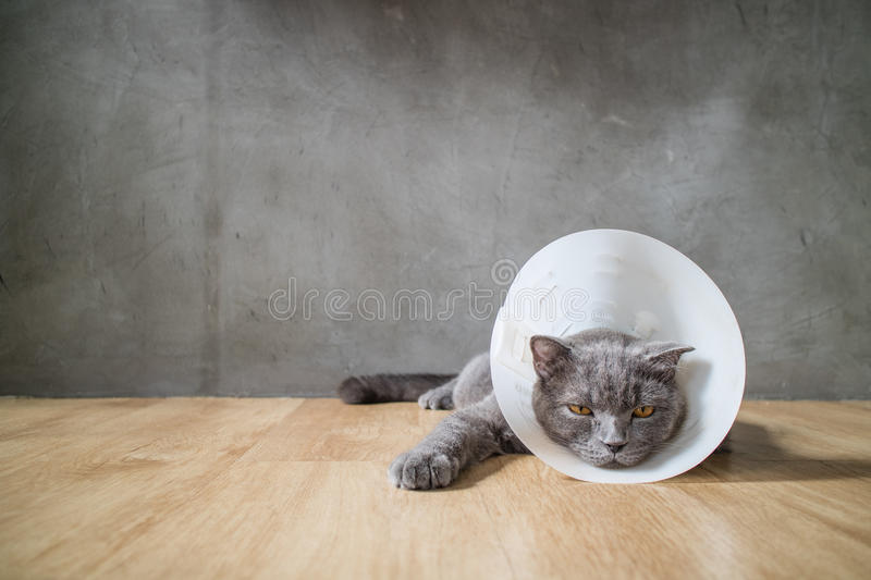 Sick cat with funnel cone collar prevent him scratch his ear stock photos