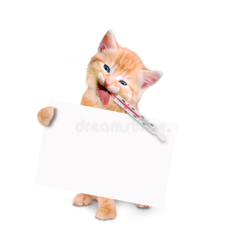 Sick cat with ice pack and thermometer and Banner isolated. Sick cat with ice pack and thermometer isolated on white background royalty free stock image
