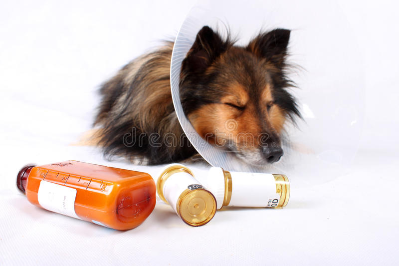 Download Sick dog stock photo. Image of sheepdog, resting, collar - 11644102