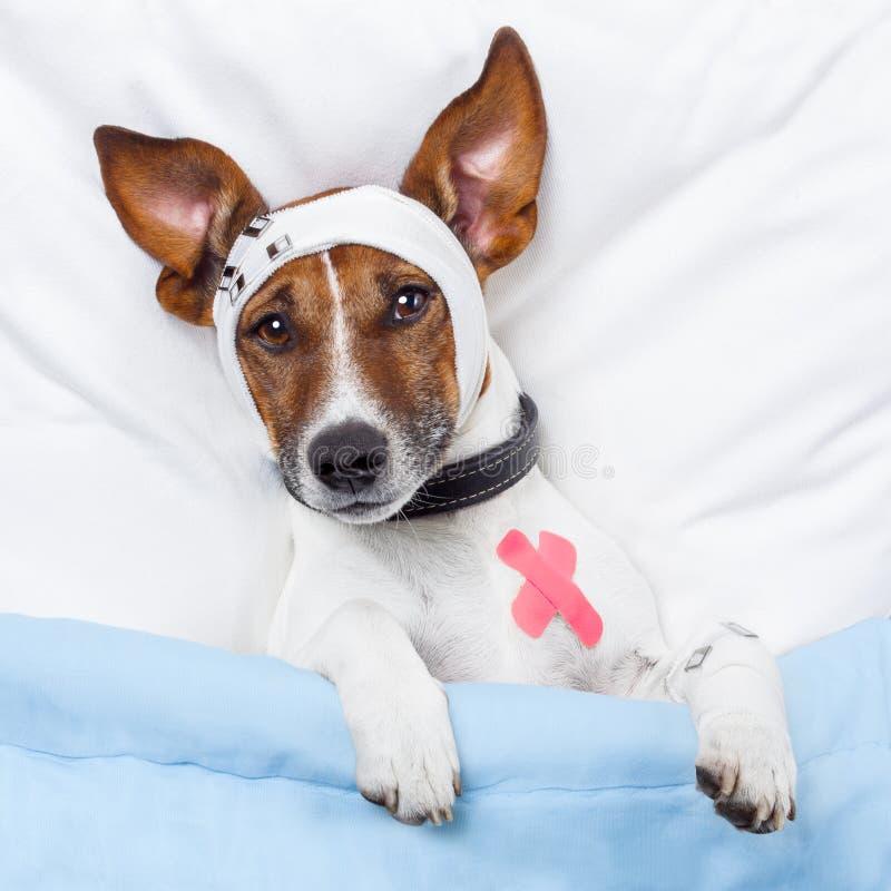 Sick dog. With bandages lying on bed