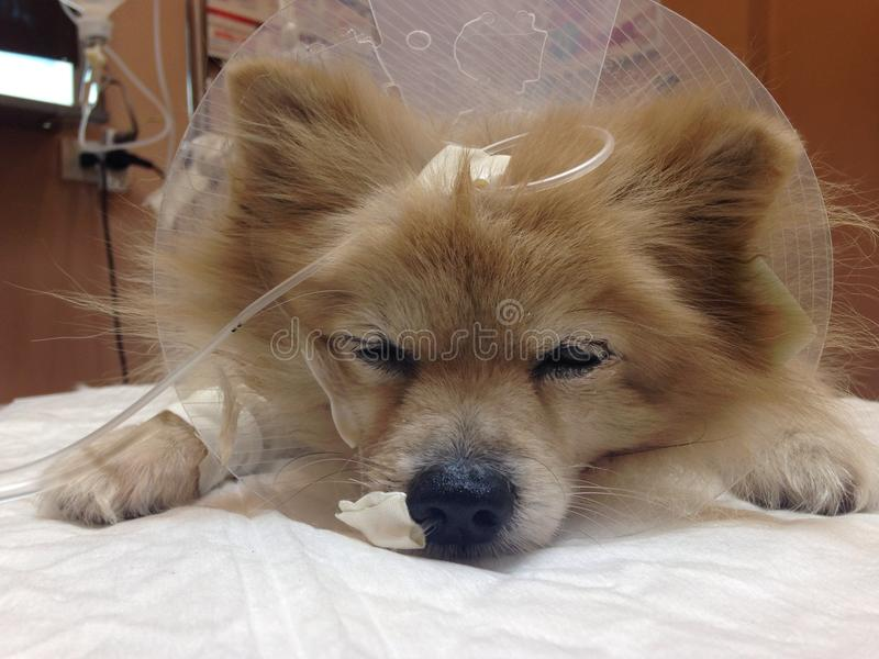 Sick Dog royalty free stock images