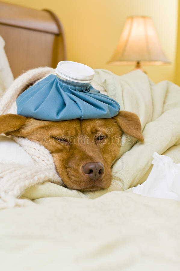 Sick dog in bed stock photo