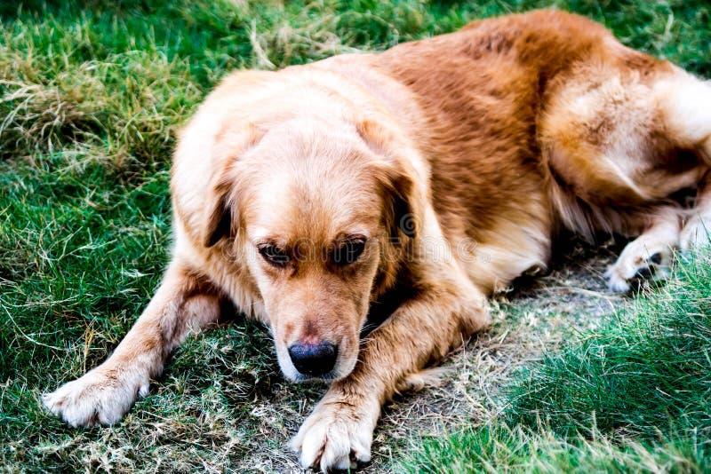 Sick dog stock image
