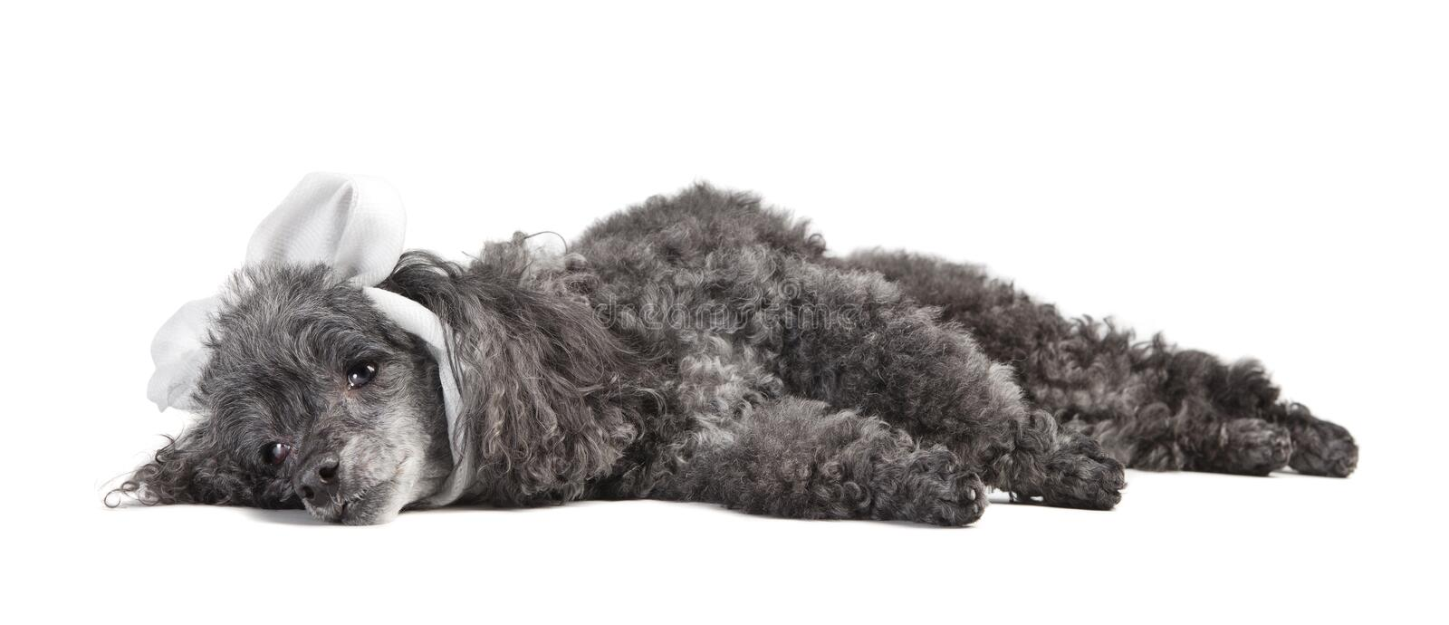Sick dog cut out. A gray curly poodle dog ill with a bandage around his head, cut out stock image