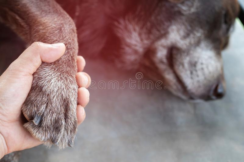 The sick dog, the owner is taking it to the doctor at the animal hospital. royalty free stock photo