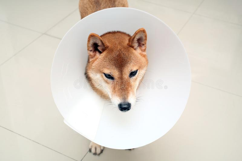 Sick dog. Sad Shiba inu dog wearing protective with cone collar. On her neck. veterinary care. The dog as wearing a funnel collar after surgery. Shiba inu in stock images