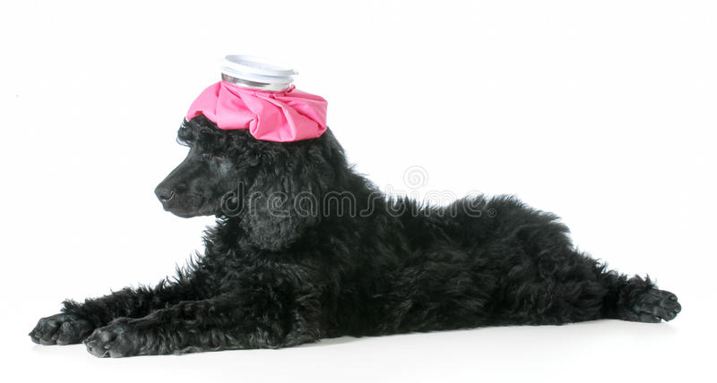 Sick dog stock photos