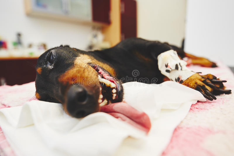 Sick dog in the veterinary clinic royalty free stock photo