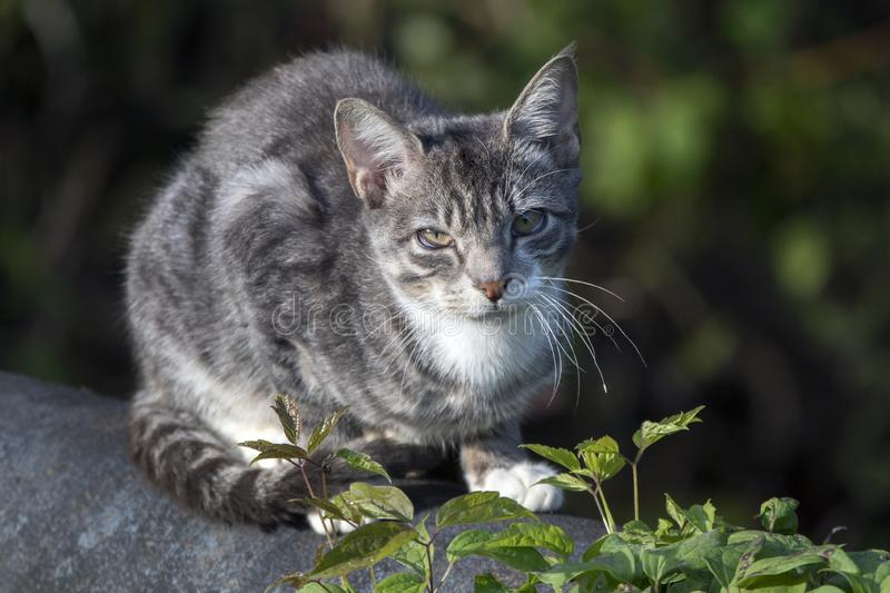 Sick feral domestic barn cat. Outdoor stray cat catching birds in Walton County, Georgia. Third eyelid is visible indicating illness such as feline stock image