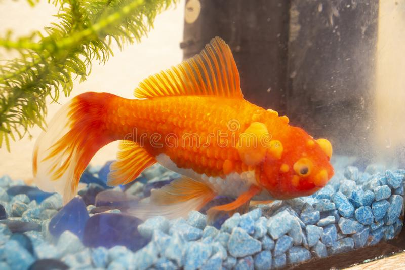 Sick goldfish with bumbs on its scale, fish bowl royalty free stock images