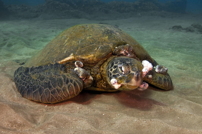 Sick Green Sea Turtle. Tumors growing on a green sea turtle caused by pesticides and pollution royalty free stock images
