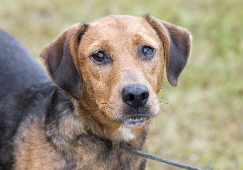 Sick hound dog with mucus discharge in eyes. Sick black and tan male hound mixed breed dog with mucus discharge in eyes. Outside on leash. Dog rescue pet stock images