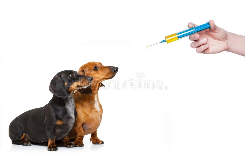 Ill sick dogs with illness and vaccine syringe royalty free stock photos