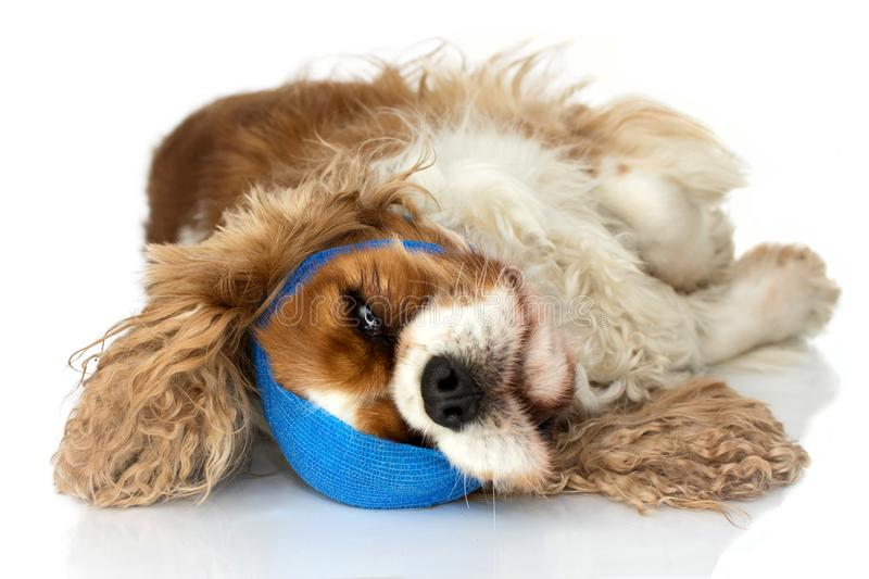 SICK AND INJURED DOG WITH A BLUE ELASTIC BAND. ISOLATED STUDIO SHOT ON WHITE BACKGROUND.  stock photo