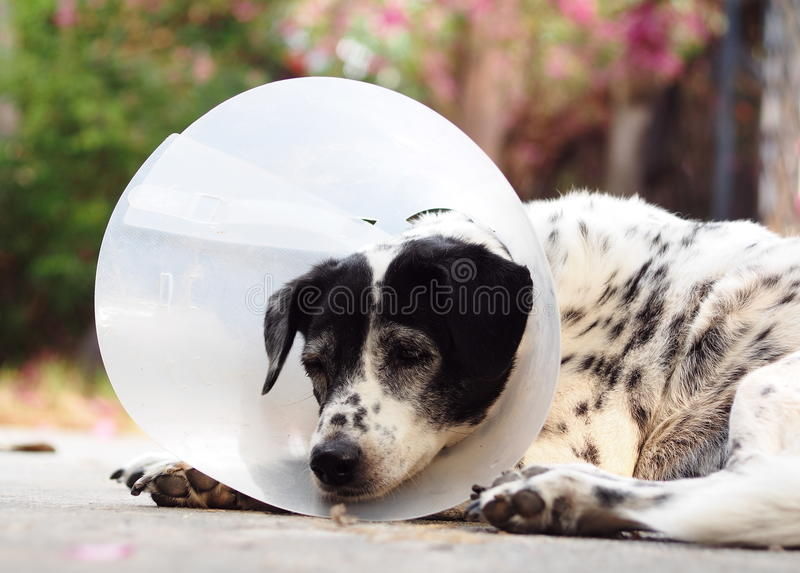 Sick injured old dalmatian dog no purebred wearing semi transparent flexible plastic protective collar. On the neck for lick and scratch protection as vet royalty free stock image