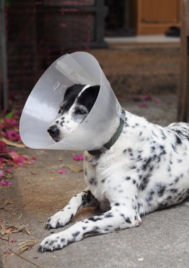 Sick injured old dalmatian dog no purebred wearing semi transparent flexible plastic protective collar. On the neck for lick and scratch protection as vet stock photos