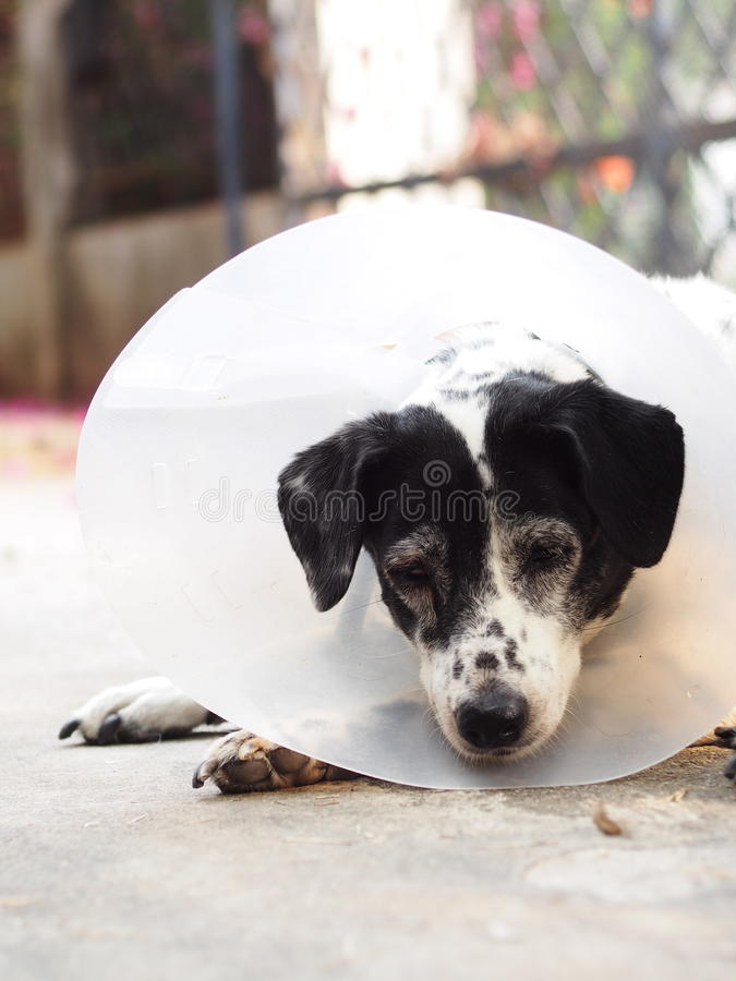 Sick injured old dalmatian dog no purebred wearing semi transparent flexible plastic protective collar. On the neck for lick and scratch protection as vet stock image