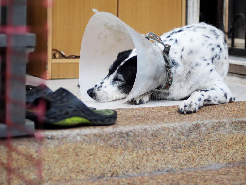 Sick injured old dalmatian dog no purebred wearing semi transparent flexible plastic protective collar. On the neck for lick and scratch protection as vet royalty free stock photo