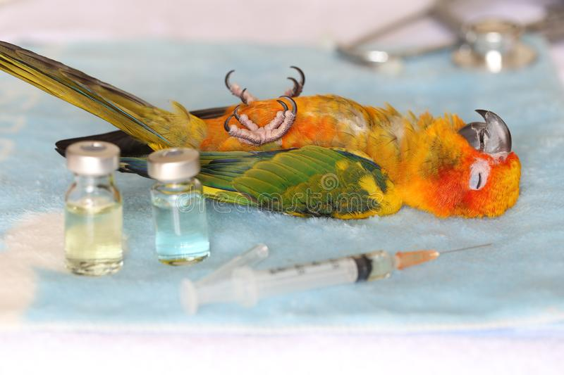 The sick parrot sleeps waiting to see the symptoms from the veterinarian.  royalty free stock photo