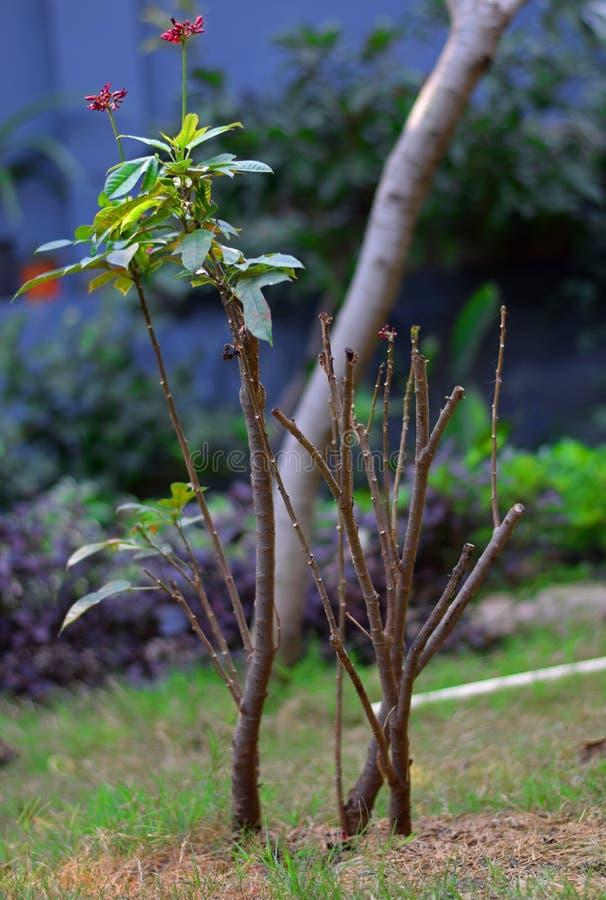 Sick Peregrina or Spicy Jatropha Flower Sick Plant Pruning stock photos