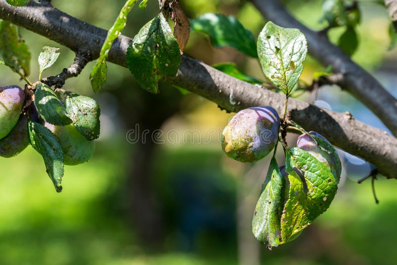 Sick plum fruit and tree leaves close up stock photos