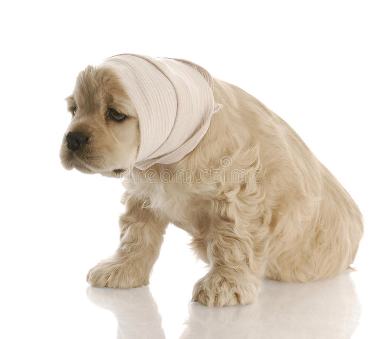 Sick puppy royalty free stock images