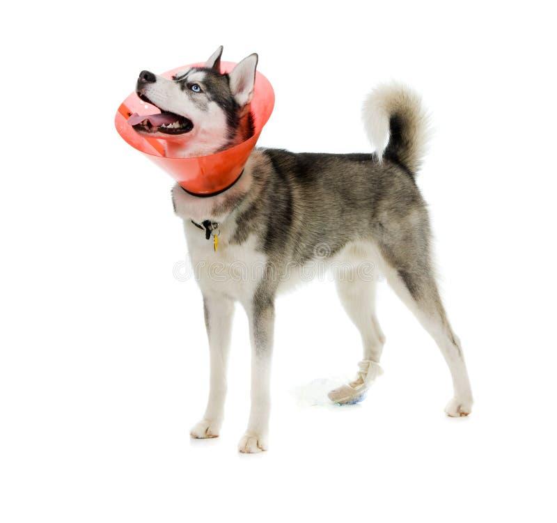 Download Sick Puppy stock photo. Image of veterinarian, white - 15699532