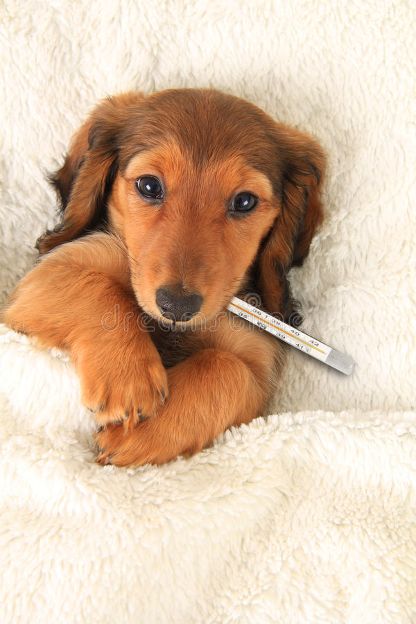 Sick puppy. Sick dachshund puppy with a thermometer to check fever royalty free stock photo